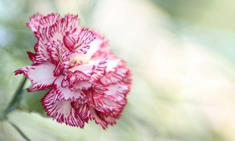 carnation-407380_1280