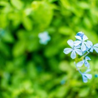 forget-me-not-338419_1280.jpg