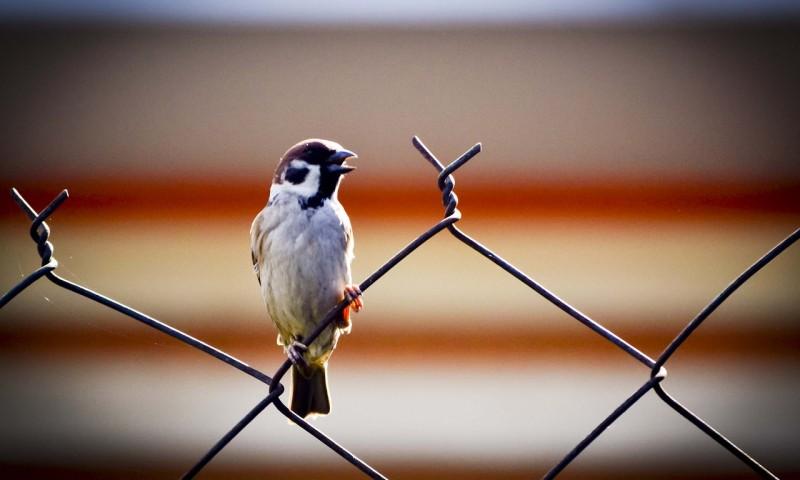 sparrow-426961_1280